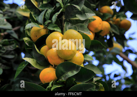 Close up of fruit and leaves of orange tree, Spain - Stock Photo