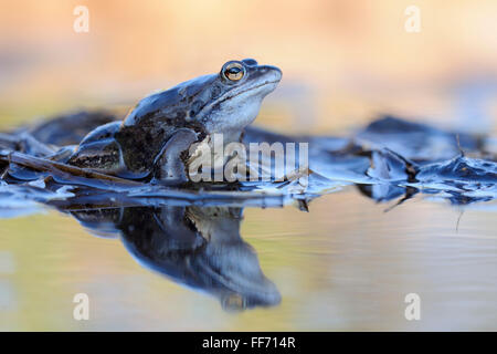 Moor Frog / Moorfosch ( Rana arvalis ), blue colored male sits on reed stems in a pond during its mating season - Stock Photo