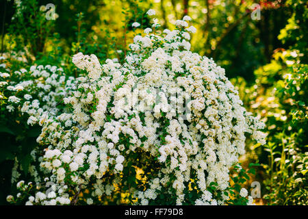 White spirea flowers on bush at spring garden stock photo 131934706 white spirea vanhouttei flowers on bush at spring the plant is widely used in landscaping mightylinksfo