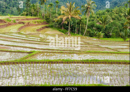 Rice terraces on the slope of the Kawah Ijen (Ijen crater), Banyuwangi, East Java, Indonesia, Asia - Stock Photo