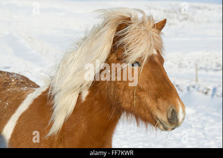 An Icelandic Horse (Pony) in the snow covered fields during winter - Stock Photo