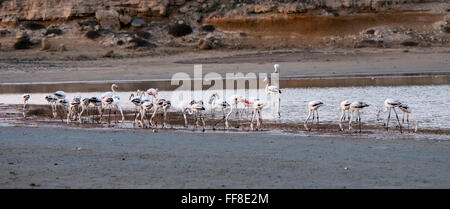 Group of wild Flamingo Birds resting and feeding at the salt lake of the city of  Larnaca  in Cyprus - Stock Photo