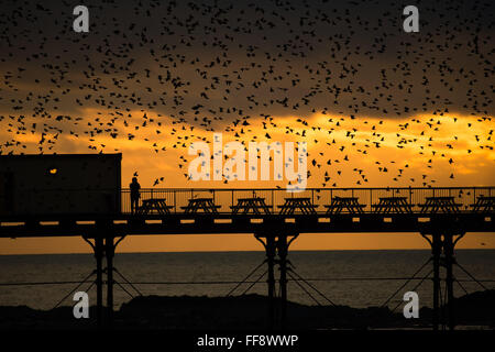 Aberystwyth, Wales, UK. 11th February, 2016.  UK weather: A lone birdwatcher gets a close up view as a  flock of - Stock Photo