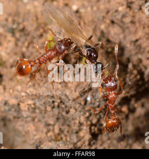 Red and black ants fighting. Common red ant (Myrmica rubra) workers attacking black garden ant (Lasius niger) winged - Stock Photo