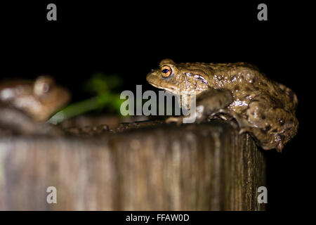 Two toads (Bufo bufo). A common toad climbs onto a wooden post, and faces another out of focus - Stock Photo