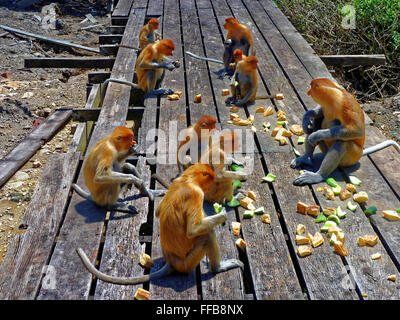 Proboscis Monkeys feeding - Stock Photo