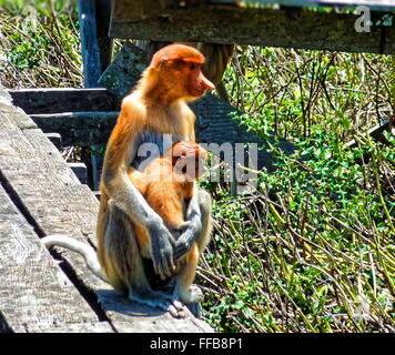 Mother and child Proboscis Monkeys - Stock Photo