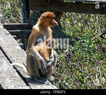 Mother and baby - Proboscis Monkeys - Stock Photo