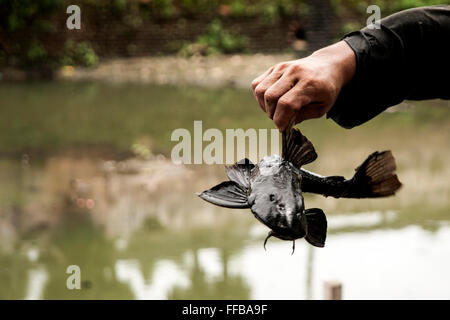 Jakarta, Indonesia. 11th Feb, 2016. Fish Hunter showing Janitor Fish (Pterygoplichthys) at River in Jakarta, Indonesia. - Stock Photo