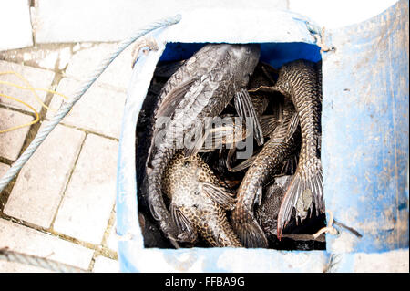 Jakarta, Indonesia. 11th Feb, 2016. Janitor Fishes (Pterygoplichthys) haul in Jakarta, Indonesia. Fishes catch will - Stock Photo