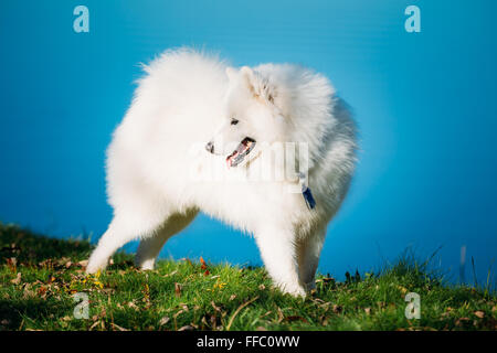 Happy White Samoyed Dog Outdoor in park on background of river - Stock Photo
