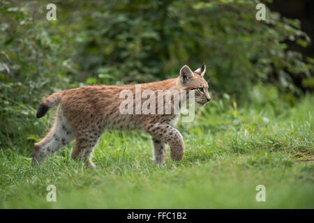 Eurasian Lynx / Eurasischer Luchs ( Lynx lynx ), young cub, strolls along some bushes, raises its paw, looks concentrated. - Stock Photo