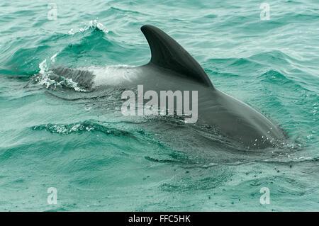Globicephala melas, Pilot Whale, Kaikoura, North Otago, New Zealand - Stock Photo
