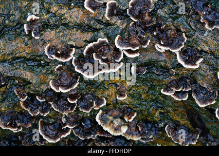Wet Turkey Tail fungi growing on a wooden stump shot just after a rain storm - Stock Photo