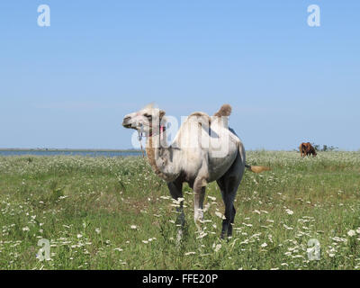 Camel on a pasture. Animals on private farm. - Stock Photo