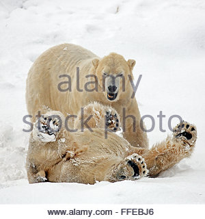 Two Polar bears fighting on the snow covered ground - Stock Photo