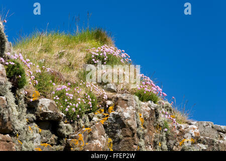 Dunvegan, Isle of Skye, Highland, Scotland. Sea pink (Armeria maritima) flowering on grass-covered cliffs beside - Stock Photo