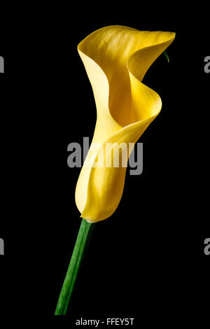 Yellow lily head held at an angle against a black background - Stock Photo