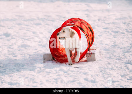 Young funny labrador dog playing outside in snow, winter season. Sunny day. Agility dog training. - Stock Photo