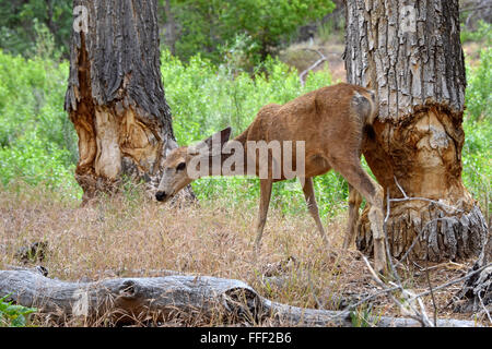 Mule deer and tree trunks gnawed by beaver - Stock Photo