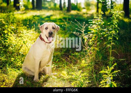 White Labrador Retriever Dog Sitting In Green Grass, Park - Stock Photo