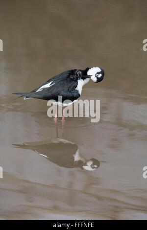 Black Winged Stilt; Himantopus himantopus Single in Water Preening Devon; UK - Stock Photo