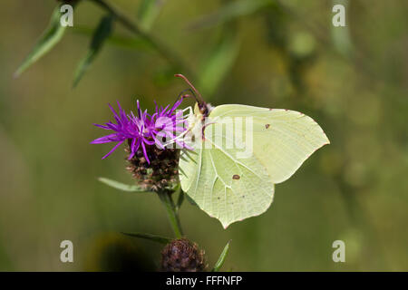 Brimstone Butterfly; Gonepteryx rhamni Single Male on Flower; Cornwall; UK