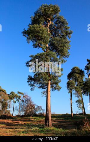 Scots pine trees Pinus sylvestris against blue sky on  on heathland, Sutton Heath, Suffolk, England, UK Suffolk - Stock Photo