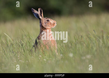 Brown Hare; Lepus capensis Single in Meadow Isle of Man; UK - Stock Photo