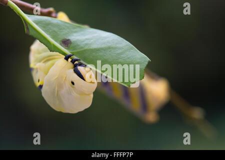 Deaths-head Hawkmoth Larva; Acherontia atropos Single Eating Privet Leaf Cornwall; UK - Stock Photo