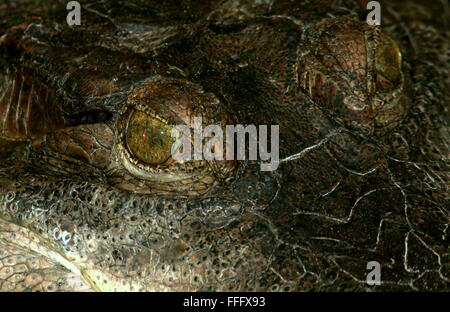 African Slender snouted crocodile (Mecistops cataphractus) extreme close-up of the reptilian eyes - Stock Photo