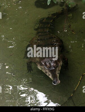 African Slender snouted crocodile (Mecistops cataphractus) floating in the water of  a stream - Stock Photo