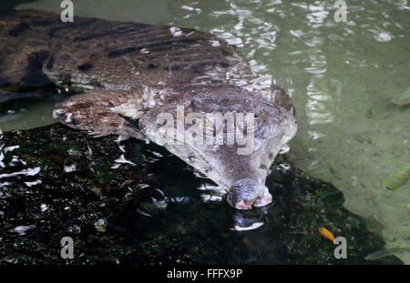 African Slender snouted crocodile (Mecistops cataphractus) close-up of the head, surfacing from the water - Stock Photo