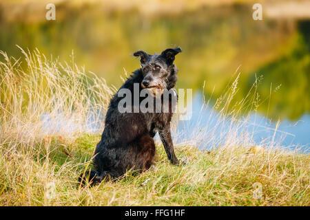 Small Size Black Dog in grass near river, lake. Summer Season. - Stock Photo