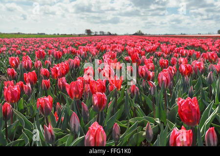 sunlight in red tulip field, North Holland, Netherlands - Stock Photo