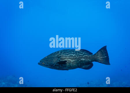 close up of Goliath Grouper fish, Epinephelus itajara, from side showing scale pattern - Stock Photo