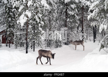 Inari, Lapland, Finland. 11th Feb, 2016. Reindeers in a forest near Inari, Lapland, Finland, 11 February 2016. Photo: - Stock Photo