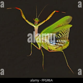 praying mantis on black background - Stock Photo