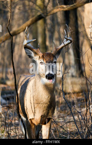 White-tailed deer buck sticking his tongue out. Odocoileus virginianus. Thatcher Woods Forest Preserve, Illinois. - Stock Photo