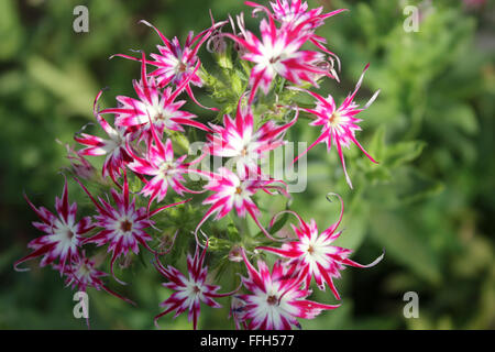 Phlox drummondii cuspidata 'Twinkle Star', cultivar with star shaped flowers with pointed bicolored narrowed corolla - Stock Photo