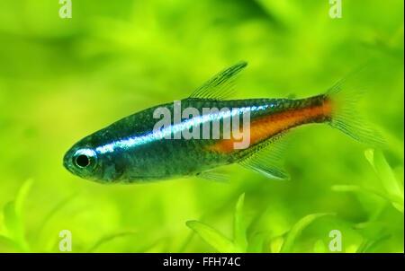 Neon Tetra Cardinal Tetra Paracheirodon axelrodi Swarm #1: neon tetra in planted aquarium ffh74c