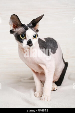 Sphynx black and white  Cat  on wooden background - Stock Photo