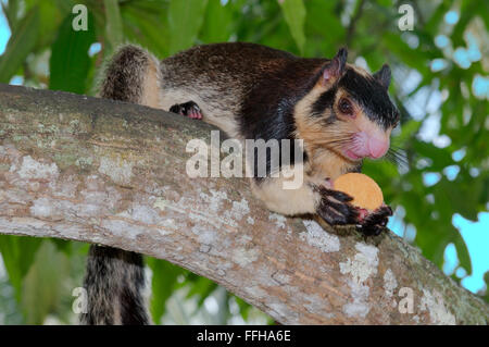 Indian giant squirrel or Malabar giant squirrel (Ratufa indica) He is sitting on a branch and holds in paws cookies, - Stock Photo