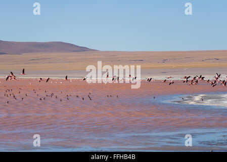 Group of pink flamingo flying over 'Laguna Colorada' (eng. Multi-colored Lake), among the most scenic travel destination - Stock Photo