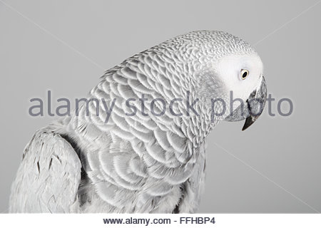 Female African grey parrot called Lola. - Stock Photo