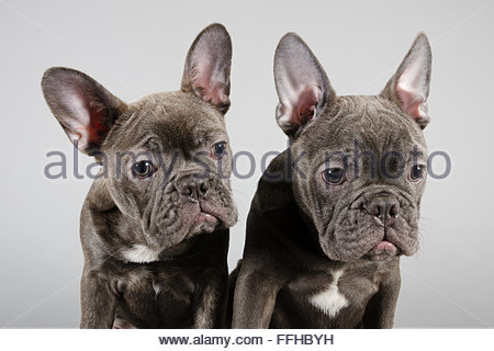 French Bulldog pups. - Stock Photo
