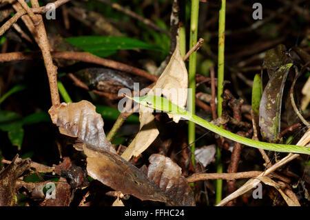 March 3, 2016 - Long-nosed Tree Snake, Green vine snake, Long-nosed Whip Snake or Asian vine snake (Ahaetulla nasuta) Sinharaja Forest Reserve, national park, Sinharaja, Sri Lanka, South Asia. © Andrey Nekrasov/ZUMA Wire/ZUMAPRESS.com/Alamy Live News