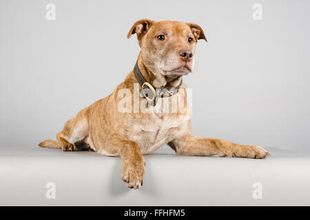 Staffordshire Bull Terrier on grey background - Stock Photo