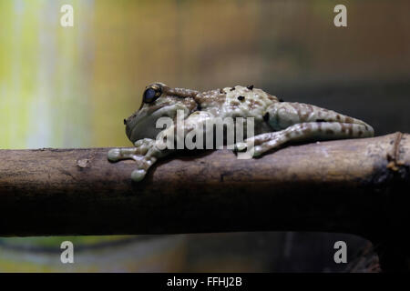 The Mission golden-eyed tree frog or Amazon milk frog ...