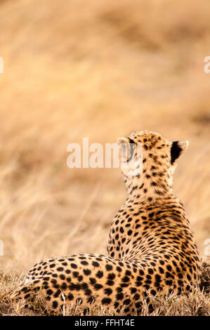 Rear view of an adult Cheetah, Acinonyx  jubatus, Lying down, Looking for prey, Masai Mara National Reserve, Kenya, - Stock Photo